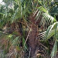 供应绿化苗木棕榈