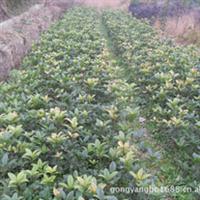 马尼拉草皮价格与栽植技巧详细咨询