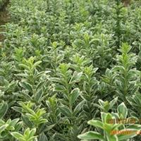 大量供应绿化苗木金边七里香