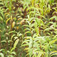 供应水蜜桃苗【水蜜桃实生苗】桃树苗 油桃苗 农业果树林用苗