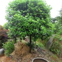 供应绿化苗木--米径15公分左右桂花(丹桂)