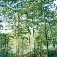 低价急售:批量处理园林绿化用竹子/竹苗  雷竹/刚竹/紫竹