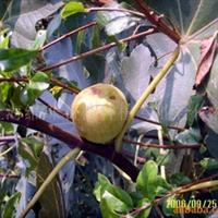 供应无花果树(图)