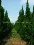 供应道路绿化及庭院树种龙柏树