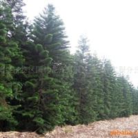 供应南方绿化【优质树种-南洋杉】