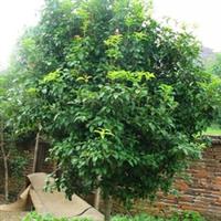 大量低价供应自产自销各种规格桂花 金桂 银桂 四季桂 桂花树
