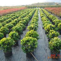 大量供应绿化苗木 含笑球