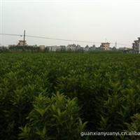 大量供应不脱脚 青珊瑚丨法国冬青 绿篱绿化苗