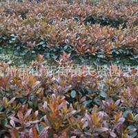 供应绿化苗木:红叶石楠球 红叶石楠小苗 红叶石楠盆栽