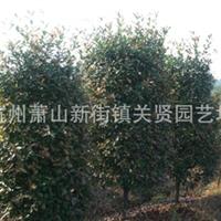 供应各种规格 红叶石楠柱子 ;绿化工程苗