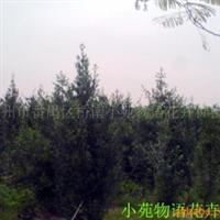 苗木.树木盆景(图)