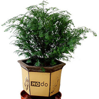 批发室内健康环保植物--红豆杉
