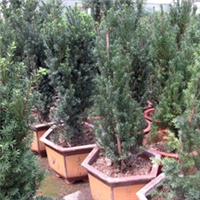 批发室内健康环保植物--曼地亚红豆杉