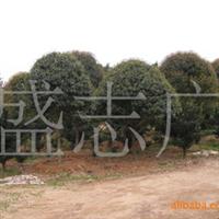 长沙广应苗木基地大量低价出售 绿化苗木10-20公分四季桂