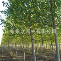长期供应  毛白杨  各种绿化苗木