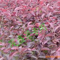 绿化苗木、红继木苗