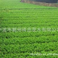 厂家大量种植各类优质花木 宁波花木批发 杜鹃花木