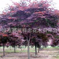 专业生产优质四明山红枫花木 可批发