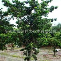 宁波四明山花木专业生产各类优质罗汉松