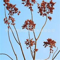 厂家大量生产培植各类优质四明山花木 栾树