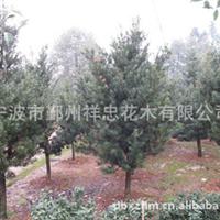 厂家生产各类优质罗汉松花木 可批发