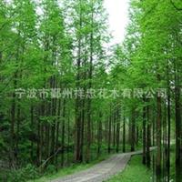 宁波厂家大量经销批发各类优质水杉花木