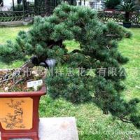 宁波四明山花木 专业培植批发各类优质五针松