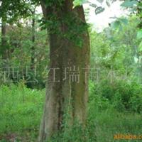 供应朴树、苗木,乔木