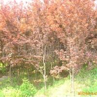 供应紫叶李,灌木。