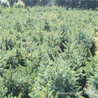 专业低价供应内蒙古白扦云杉绿化大苗