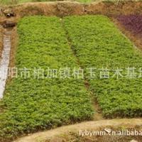 柏玉苗木供应杜鹃球10-50公分  绿化园林灌木