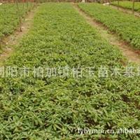 批量供应园林绿化小苗杜鹃球  胸径10-50公分