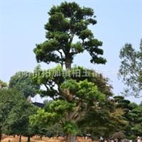 专业供应绿化苗木 大量优质五针松