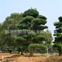 专业销售造型五针松   园林绿化苗木