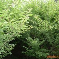 绿化苗木-精品梅花