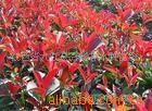 供应红叶石楠、火焰红、千年红、小苗