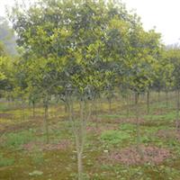 供应各种桂花树 金桂桂花树、银桂桂花树2-10公分 重庆