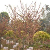 供应 各种规格樱花、樱花树、等乔木 量大从优 重庆地区