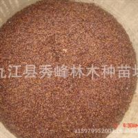 曼地亚红豆杉种子、西藏红豆杉、东北红豆杉、中国红豆杉