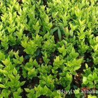 销售各种绿化苗木  质优价廉
