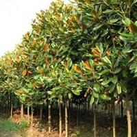 青岛厂家绿化苗木常年供应