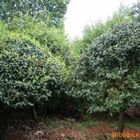 绿化苗木-构骨球