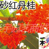 供应朱砂红丹桂花树桂花苗,果树,果苗,花卉,花卉苗