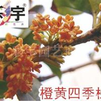 供应橙黄四季桂花树桂花苗,果树,果苗,花卉,花卉苗