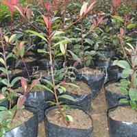 福建漳州QQ苗木场长期大量供应红叶石楠营养袋小苗