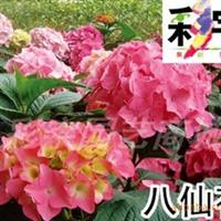 供应八仙花苗,果树,果苗,花卉,花卉苗