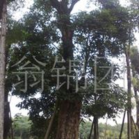 大量供应胸径50-100厘米的菩提榕!