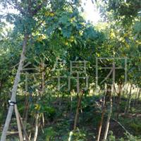 大量供应大规格的重阳木!