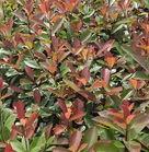 红叶石楠,冠幅30,40-50高,价格公道,品质优秀