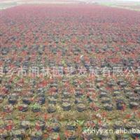 供应常绿性灌木红叶石楠  观赏价值高